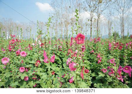 closeup beatiful flowers, beautiful pink hollyhock flowers blossom