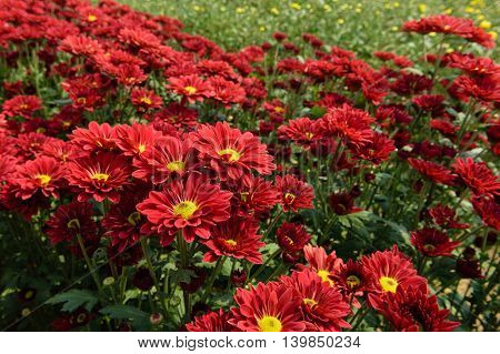 closeup beatiful flowers, red chrysanthemums in the garden