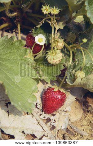 closeup ripe strawberry bush in the farm