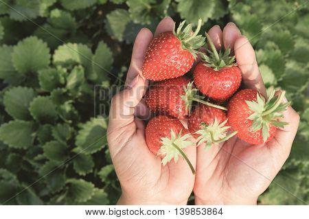 closeup fresh  red strawberries in human hand