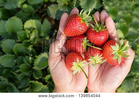 closeup fresh red strawberries in human hand
