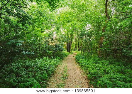 The Summer Landscape With Forest Path Going Ahead Through Bright Green Thick Growth Of Small-Flowered Touch-Me-Not Or Impatiens Parviflora Under Tree Crowns Of Greenwood.