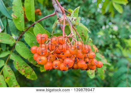 Bunch of young berries of mountain ash. Rowan beautiful nature close. Orange berries chokeberry, is rich in vitamins. Healthy natural food.