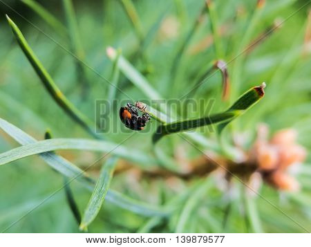 Beetle on spruce needles. Details of the nature spruce forests. Beautiful wildlife.