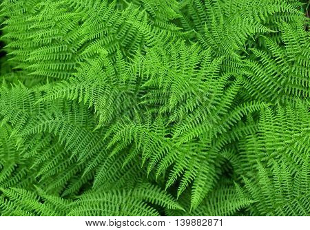 Green fresh fern background, ferns nature background
