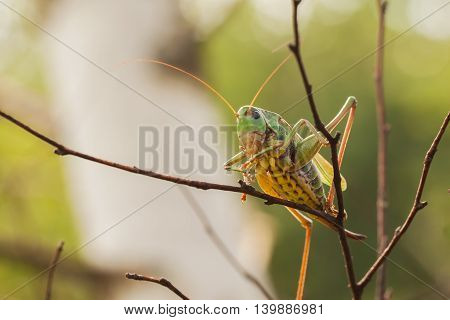 Female Decticus verrucivorus grasshopper sitting on on a branch in the forest. It feeds mainly on insects and plants. They are active during the day. Sexually mature males sing only in sunlight.