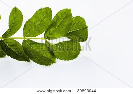 green fresh leaf on a white background isolated