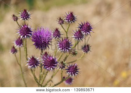 Purple holy thistle flowerHoly thistle flowerHoly thistle flower meadow
