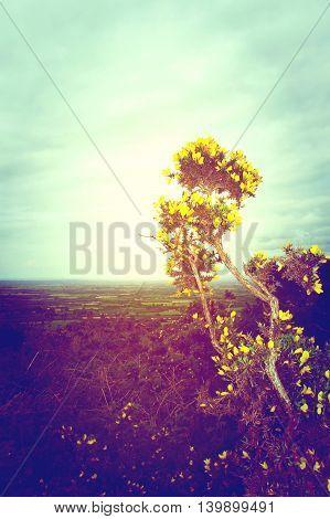 A yellow gorse bush faces the sun in a bid to grow on a cold Irish hilltop