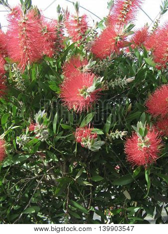 Callistemon. Arbusto de hojas  resitentes y muy decorativo.