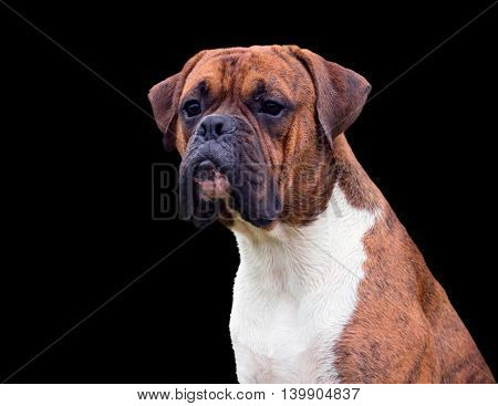 the young dog a dog breed the german boxer beautifully sits, looking intensely guarded, serious and concentrated, official, isolated black, wet wool