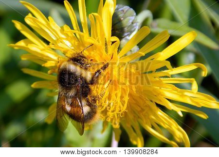 Bumblebee among dandelions. Bumblebee sitting on yellow dandelion flower.