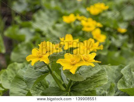Caltha palustris first spring flower Adonis vernalis