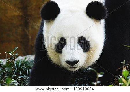 Giant Panda staring you down as it sums up an approach on the viewer