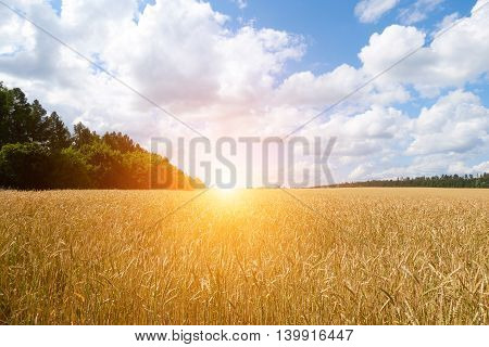 A Wheat Field, Fresh Crop Of On A Sunny Day. Rural Landscape