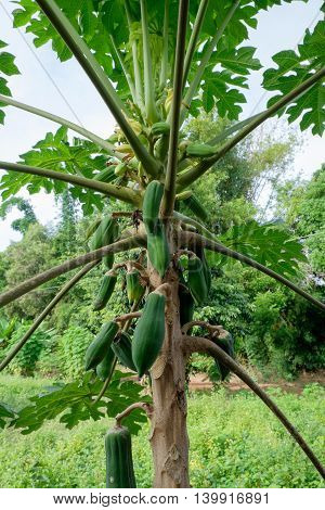 the papayas on tree in natural condition