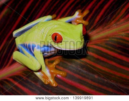 Red eye tree frog resting on striped leaf showing blue stripes on side of body.