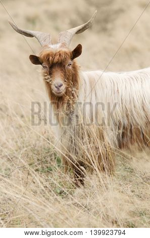 Auburn goat with beautiful horns. Pasture with dry grass in the mountains
