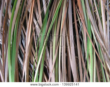 Australian reeds rushes detail background green and brown