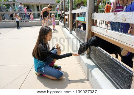 BROOKFIELD, ILLINOIS / UNITED STATES - MAY 21, 2016: A girl feeds a Nigerian dwarf goat (Capra aegagrus hircus) through a fence in the Brookfield Zoo's Hamill Family Wild Encounters.
