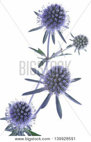 Twig of blue eryngium isolated on white background