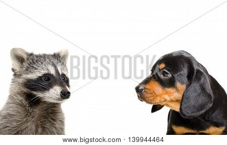 Raccoon and puppy breed Slovakian Hound isolated on white background