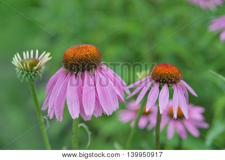 Two flowers of medicinal plant and honey plant Echinacea Purpurea closeup outdoors