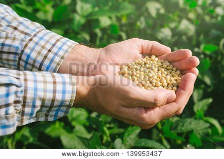 Farmer with handful od soybean in cultivated field male agricultural worker harvesting soy crops on bright sunny day