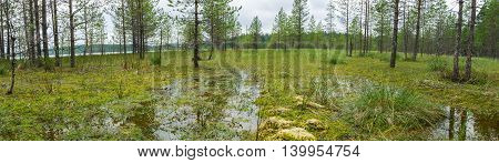 Panorama Of Swamps And Pine Underbrush.
