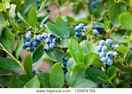 Blueberries ripening on the bush. Shrub of blueberries.