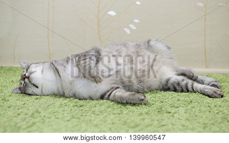 Cat, cat sleeping in a bed, funny kitten hiding in a bed, pet under the cover. Portrait of domestic cat portrait. Humorous photo of deep sleeping cat