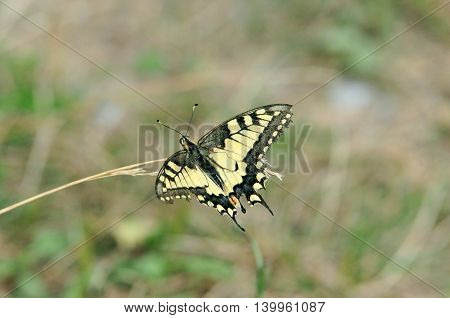 Swallowtail butterfly, Old World swallowtail. Butterfly collecting nectar from the flower meadow.