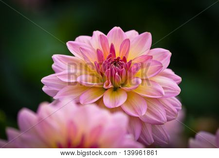 Closeup of a pink colored dahlia flower