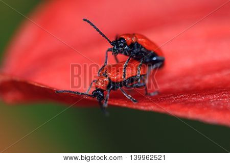 The cardinal beetle Pyrochroa coccinea on a lily flower. Mate Scarlet lily beetle,Lilioceris lilii is a real nightmare for lily lovers