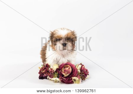 One cute little shih-tzu puppy with flower crown isolated on white background