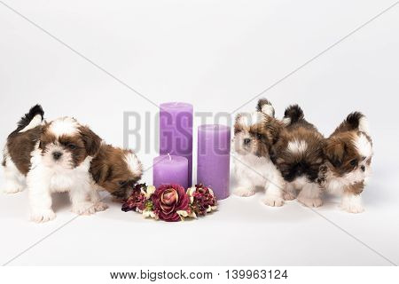 Five cute shih-tzu puppies with holliday candles isolated on the white background