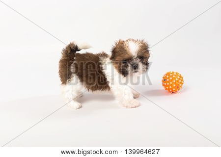 Little colored funny shih tzu puppy isolated on the white background