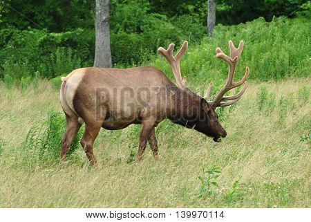 Male American Elk at a Wildlife Sanctuary