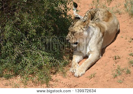 Lioness, Namibia, Africa