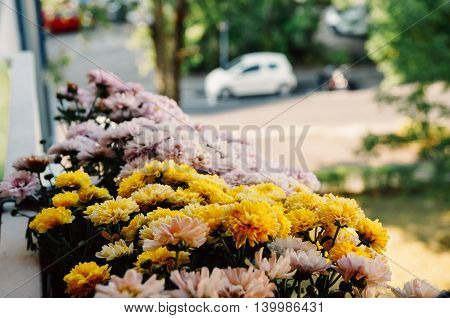 Variety of chrysanthemum in a pot on a balcony