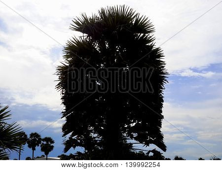 silhouette of sugar palm against a bright sky, white cloud, distant row of sugar palms on the lower left, Songkhla, Thailand