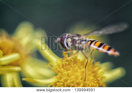 Hoverfly collecting pollen on a flower. Summer.