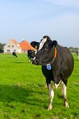 Typical dutch landscape with cows farmland and a farm house poster