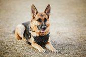Brown German Sheepdog Sitting On Ground. Guard Dog, Police Dog poster