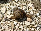 Large tropical terrestrial snail class Gastropoda crawling over rocks. poster