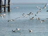 Seaguls at the Chimsee (it is lake in the South Germany) poster