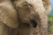 Close up of a hairy muddy elephant poster
