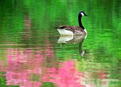 Canadian goose in a pond with azalea reflection poster