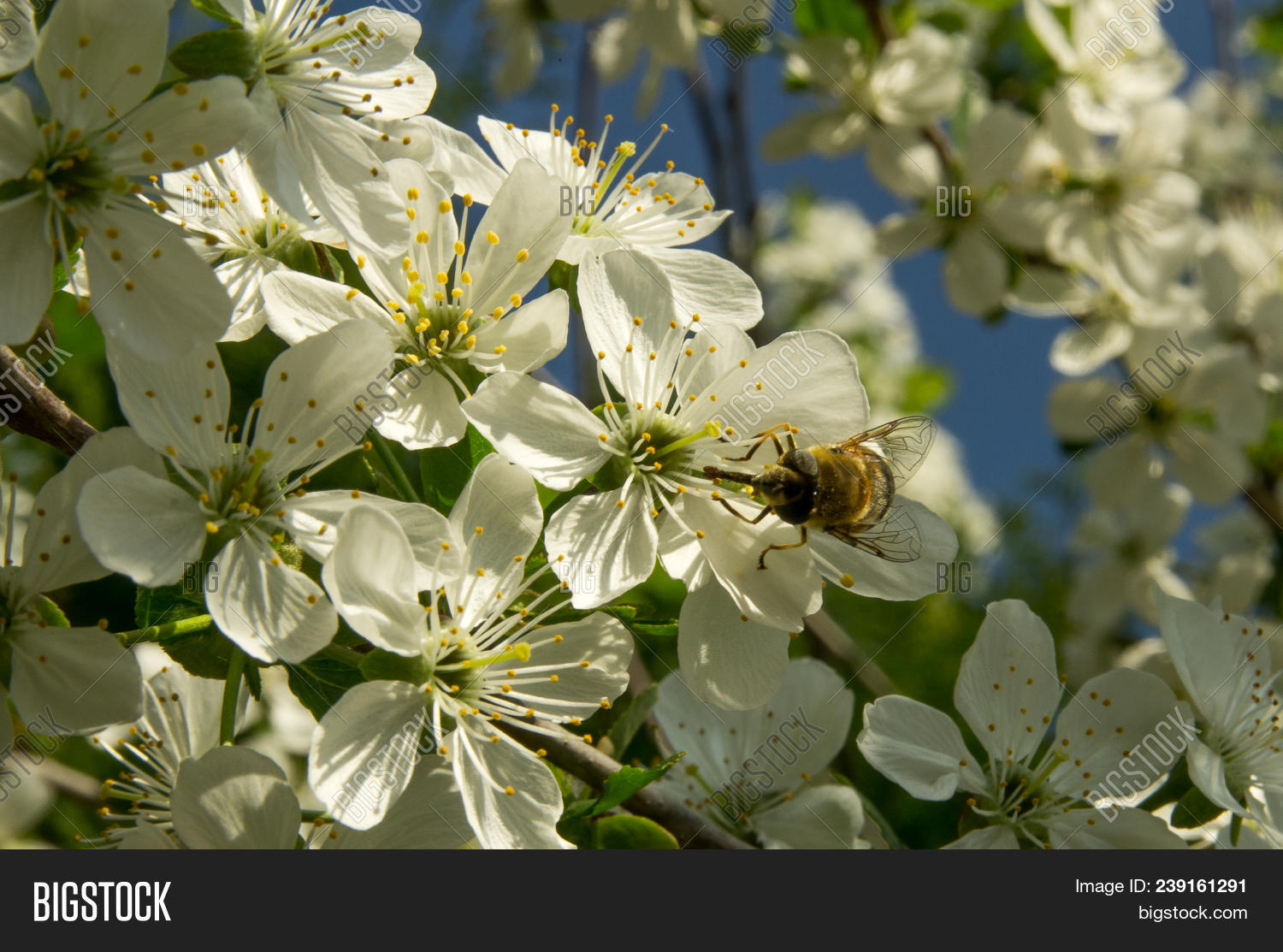 Bee On White Plum Image Photo Free Trial Bigstock