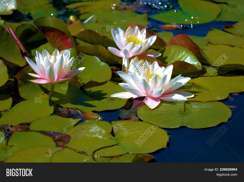 Lily Pads Lotus Image Photo Free Trial Bigstock